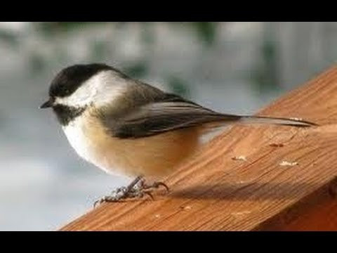 BLACK CAPPED CHICKADEE / SOLO MALE BIRD MATING CALL