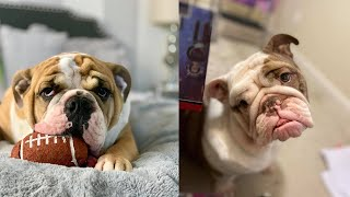 Funny and Cute English Bulldog Compilation