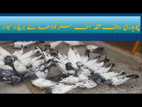 My Pigeon's Loft , Rauf Tatla & Mansoor Tatla of Sargodha, Pakistan