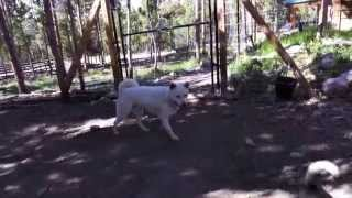 This is a video of Kishin, our male Shiro Kishu Ken (白紀州犬), mee...