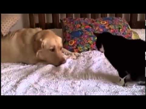 Dogs Annoying Cats With Their Friendship Huffington Post YouTube - Dogs annoying cats with friendship