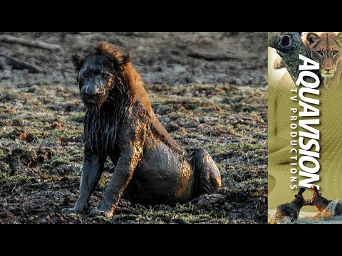 Male Lions get lucky when a Buffalo gets stuck in mud.