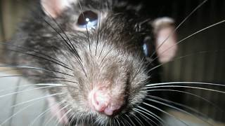 Крыса в магазине у Германа Стерлигова