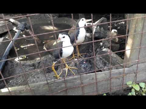 Ternak burung wak2 sbgai hobi
