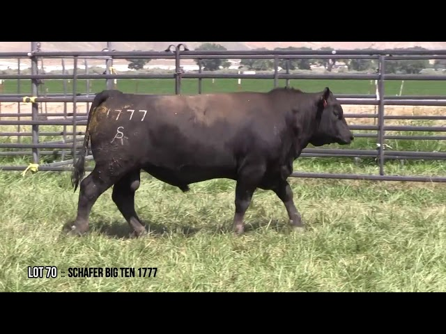 Mid Valley Bull Sale Lot 70