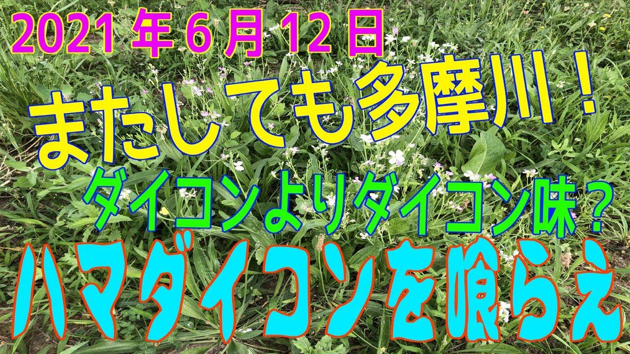 「ダイコンより大根の味?ハマダイコンを食す!」in多摩川(2021年6月12日)