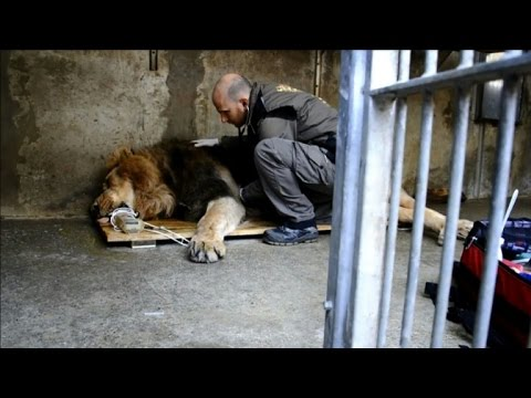 Rare Asian lion leaves French zoo for England
