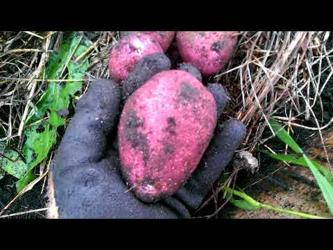 Вопрос: Сорт картофеля Рокко описание, характеристики какие?