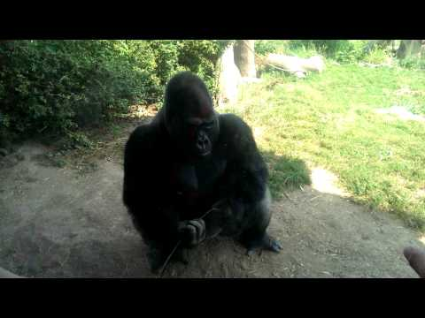 Angry gorilla dropkicks hits glass at st Louis zoo