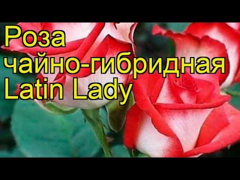 Роза чайно-гибридная Латин Леди. Краткий обзор, описание характеристик Latin Lady