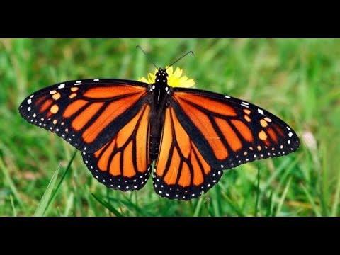 הרב רונן שאולוב - בזכות מה זכה הפרפר שהיה גולם וזחל בתוך קליפה לעוף ?! ניסיונות ומשברים !!!