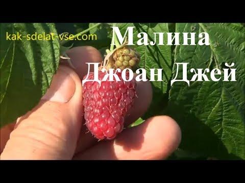Соколица - лучший сорт летней малины от польских селекционеров