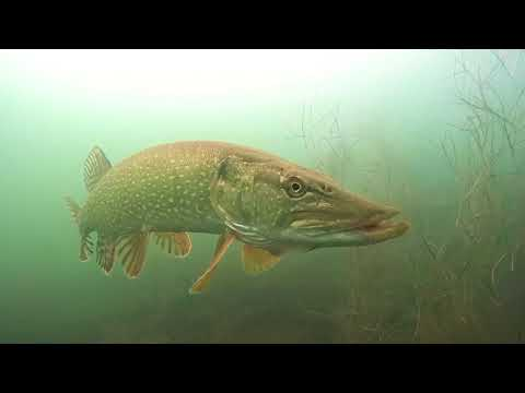 Big Pike on a Fly - Lodge 88