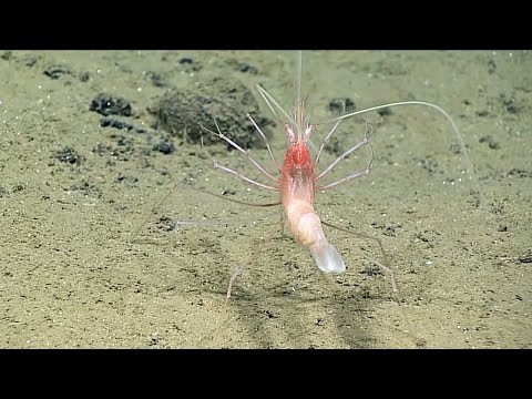 Stylodactylidae Shrimp First Seen Alive Youtube