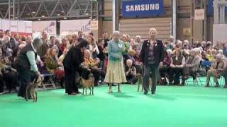 Border Terriers Crufts 2011