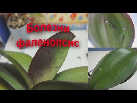 Болезни орхидей фаленопсис Есть вопросы