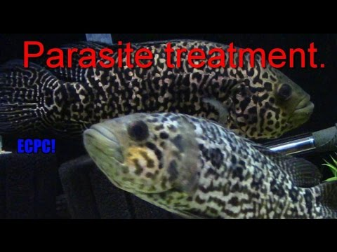 How To Treat Internal Parasites In Big Cichlids Youtube