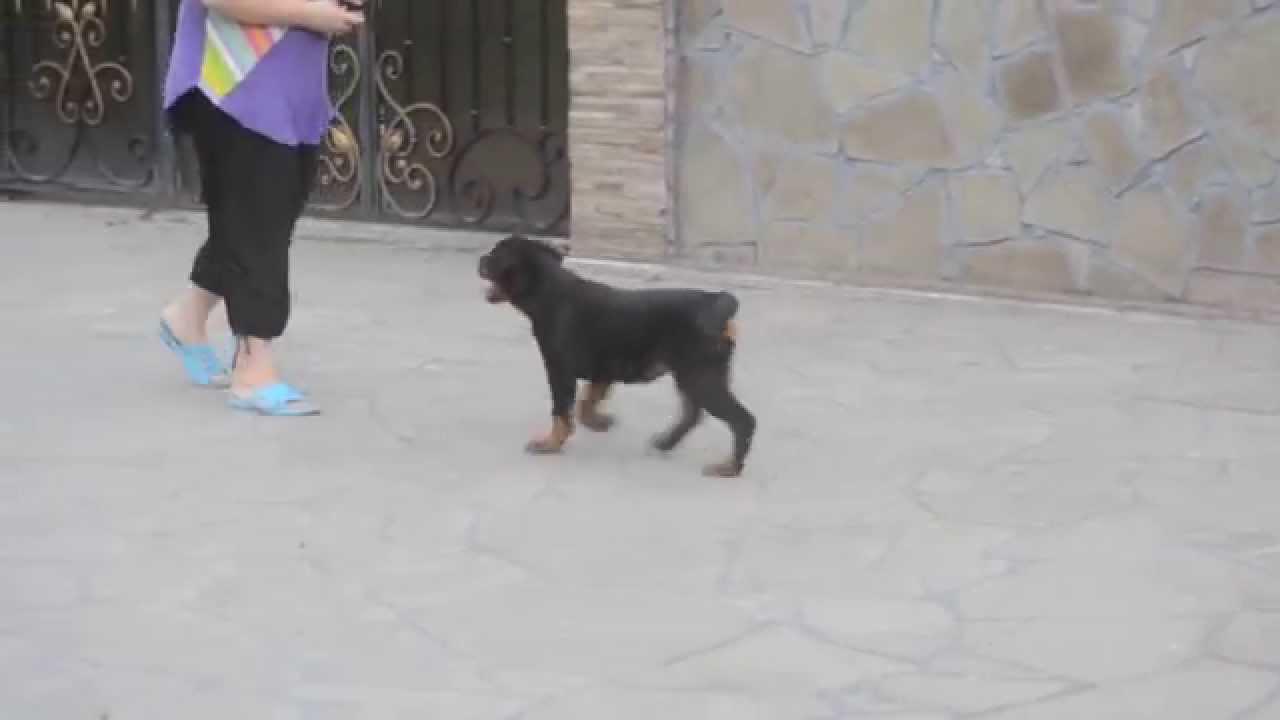 щенок ротвейлера 3 месяца фото