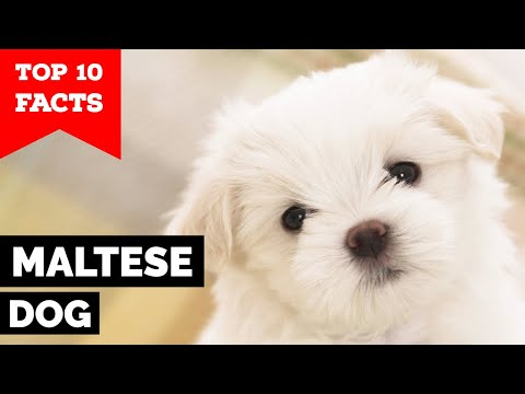 Maltese Dog  Top 10 Facts