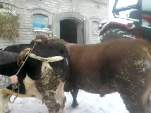 Krycie krowy bykiem limousine