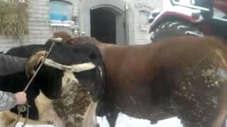 Filmy sex krowy