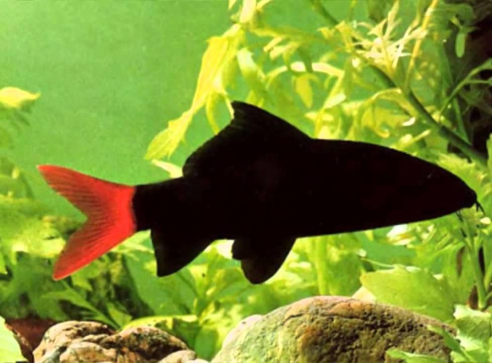 Keeping red tailed black shark rainbow shark youtube for Rainbow shark fish