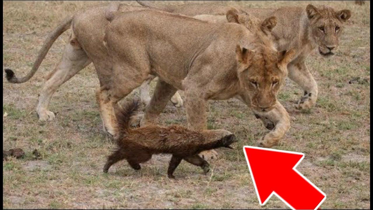 VOICI L'ANIMAL QUE MÊME LES LIONS CRAIGNENT !