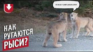 Как кричат рыси? Вот так