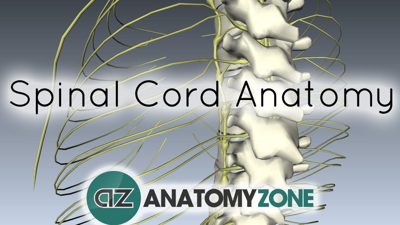Spinal Cord - External Anatomy - 3D Anatomy Tutorial - YouTube