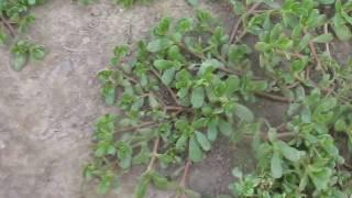видео Полезный сорняк