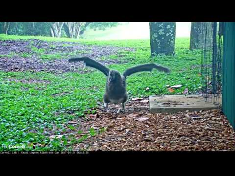 Rainy Day Wingercise on the Laysan Albatross Cam – Apr. 21, 2017