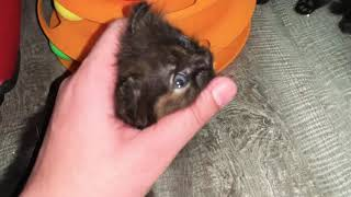 Just playing with my furry little persian kittens   little tiny cute persian kittens