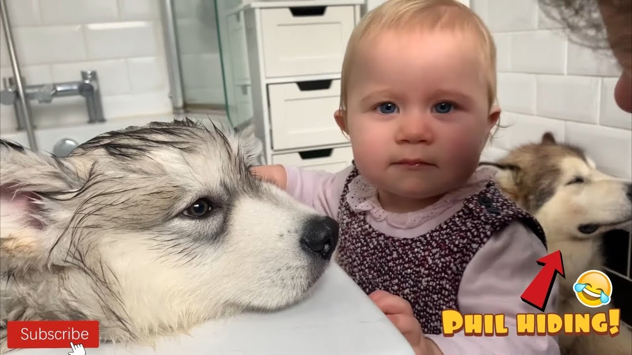 Life With Malamutes Baby / The malamutes were so gentle that they would allow the young children to join their own puppies, snuggle for an event that saved thousands of lives during an outbreak of diphtheria.