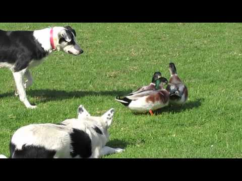Australian cattle dogs herding ducks