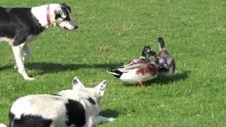 Australian Cattle Dogs Herding Ducks