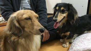シェーデットクリーム→兄犬 サム 3歳 ブラッククリーム→弟犬 ライリー 1歳.