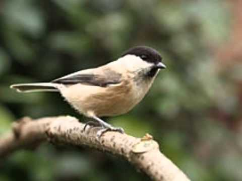 WILLOW TIT CALL