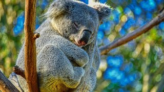 Peaceful Relaxing Instrumental Music, Meditation nature music 'Animals of Australia' by Tim Janis