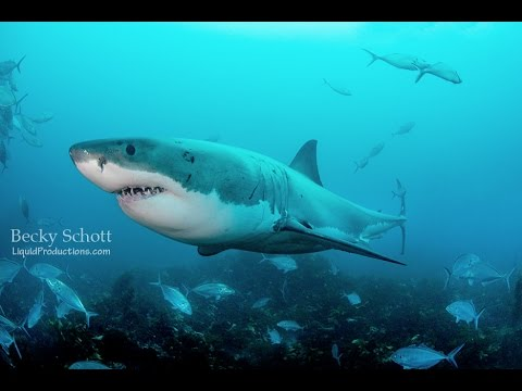 Face To Face To The Great White Shark YouTube - Man fights great white shark sydney harbour jumping cliff