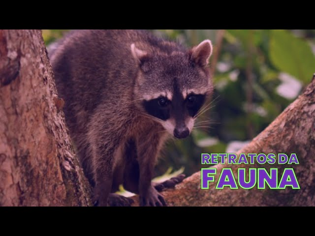RETRATOS DA FAUNA #08 - GUAXINIM