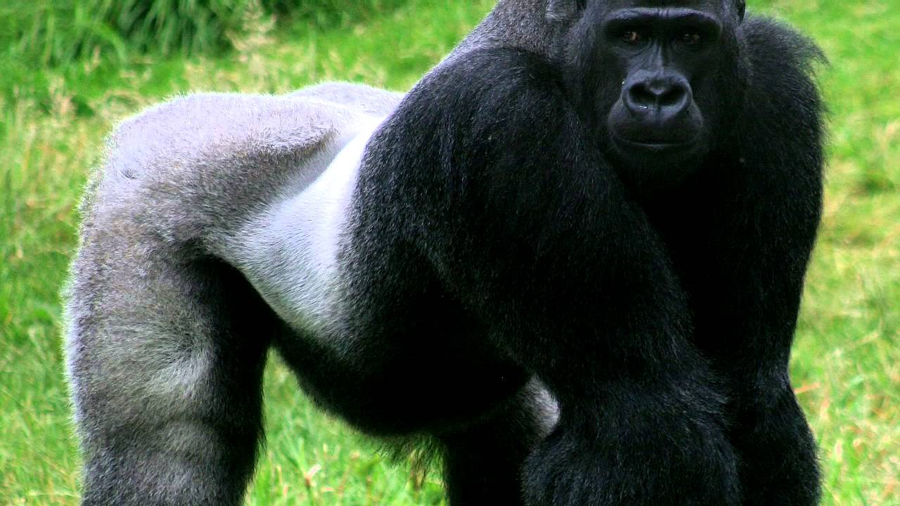syndrome x and the silverback gorillas Silverback gorillas use situation-specific smells to communicate with friends and warn away foes current issue gorillas use body odor to communicate.