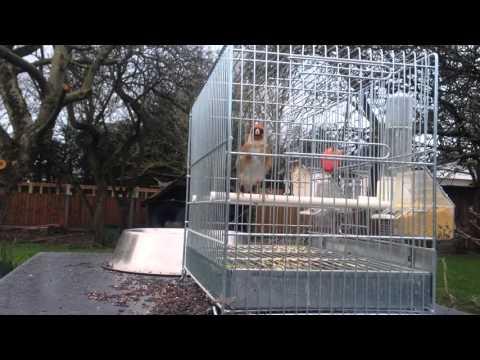 Switty Goldfinch British