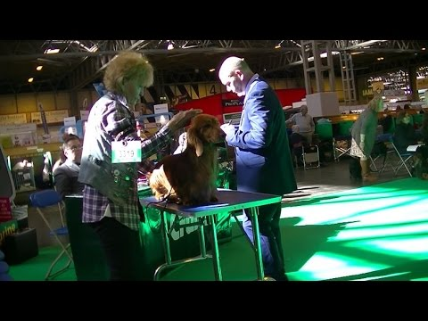 Standard Long Hair Dachshund in Crufts 2017 C