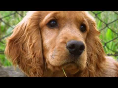 cocker-spaniel-training-tips-how-to-train-a-cocker-spaniel-at-home