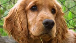 Cocker Spaniel Training Tips How to train a Cocker Spaniel at home