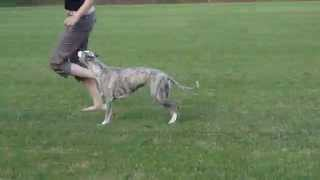 Whippet Dog Show Training Bellinda Lee Fast Dunderry 2 Years Old Free Movement