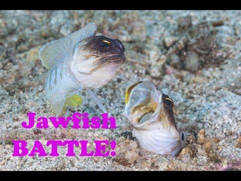 Underwater Jawfish Battle