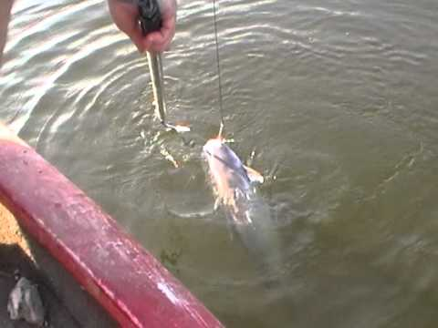 trotline catfish on Ouachita river... playing with the gaff