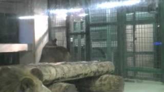 円山動物園のライオン、リッキー(オス)とティモン(メス)。 新しく、隣に...