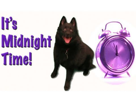 SCHIPPERKE DOG RUNS RAMPANT : It's Midnight Time!